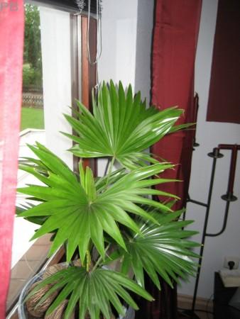 palmen arten als und sehr robuste fiederpalme zhlt die. Black Bedroom Furniture Sets. Home Design Ideas