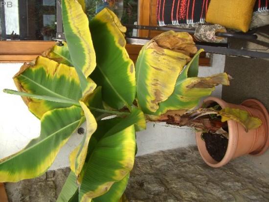 banane bekommt gelbe bl tter. Black Bedroom Furniture Sets. Home Design Ideas