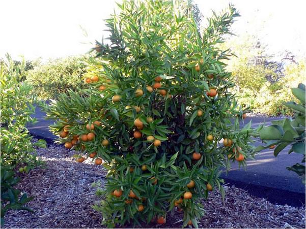 palmen und co mandarinenbaum k mpft gegen die last der fr chte. Black Bedroom Furniture Sets. Home Design Ideas