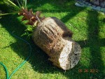 washingtonia wurzelbehandlung 1