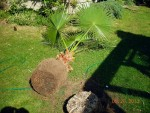 washingtonia wurzelbehandlung 2