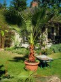 washingtonia wurzelbehandlung 3