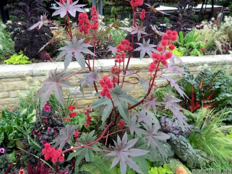 wunderbaum samen wunderbaum ricinus communis pflanzen. Black Bedroom Furniture Sets. Home Design Ideas